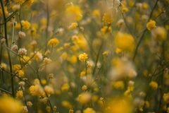 Tulpanfestival i Australien under blommande säsong arkivbild