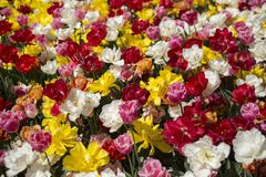 Tulpanfestival i Australien under blommande säsong arkivfoton
