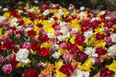 Tulpanfestival i Australien under blommande säsong royaltyfri foto