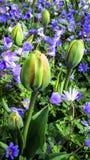 Tulpanknoppar bland trädgårds- blommor Fotografering för Bildbyråer