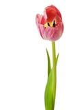 Tulpanrosa färger Tulip Flowers Isolated Arkivbilder