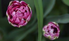 Tulpanrosa färgfrotté Arkivfoto