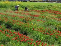 Tulpanträdgård med på Oita Japan Royaltyfria Foton