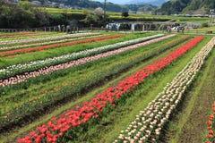 Tulpanträdgård med på Oita Japan Royaltyfria Bilder