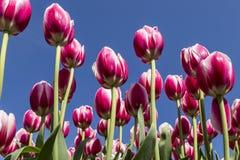 Tulpanträdgård på Holland, Michigan Arkivfoton