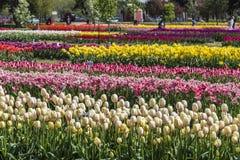 Tulpanträdgård på Holland, Michigan Arkivbilder