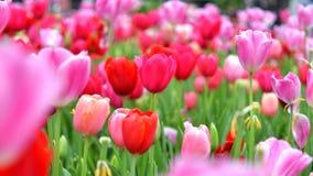 Tulpanträdgården blommade fullständigt tulpan arkivbild