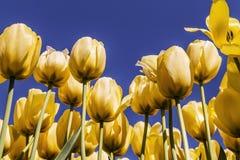 tulpanyellow för blå sky Arkivfoton