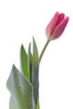 Tulpe Lizenzfreies Stockbild