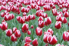 Tulpe Stockfotografie