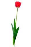 Tulpe Lizenzfreie Stockfotos