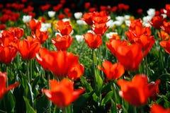 Tulpe Stock Photography