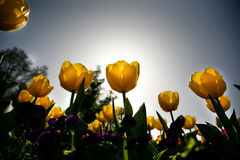 Tulpe Stock Photography