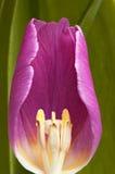 Tulpe Lizenzfreie Stockbilder