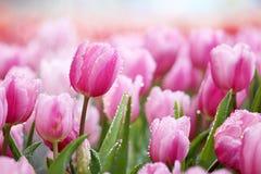 Tulpe Lizenzfreies Stockfoto