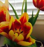 Tulpe Stockbild