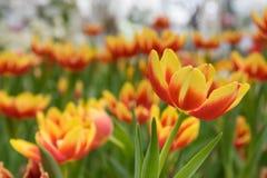 Tulpe Stockbilder