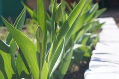 Tulpe auf dem Blumenbeet Stockbilder