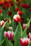 Tulpe auf dem Gebiet Lizenzfreies Stockfoto