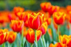 Tulpe auf dem Gebiet stockbilder