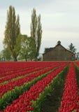 Tulpe-Bauernhof Lizenzfreie Stockfotos