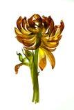 Tulpe-Blätter stockbilder