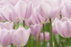 Tulpe blüht Nahaufnahme stockbild