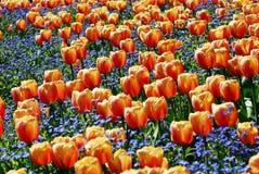 Tulpe-Blumen lizenzfreie stockbilder