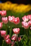 Tulpe-Blumen Stockfoto