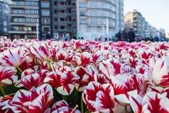 Tulpe Bunte Tulpenblume im Garten Lizenzfreie Stockfotografie