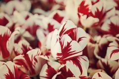 Tulpe Bunte Tulpenblume im Garten Stockbild