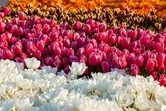 Tulpe Bunte Tulpenblume im Garten Lizenzfreies Stockbild