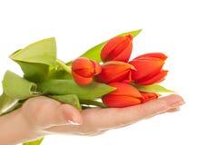 Tulpe in den Händen Lizenzfreies Stockfoto