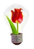 Tulpe in der Glühlampe Lizenzfreies Stockbild