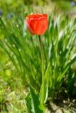 Tulpe der roten Farbe Lizenzfreie Stockbilder