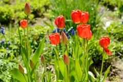 Tulpe der roten Farbe Stockbild