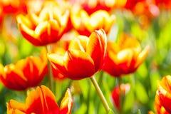Tulpe des orange Gelbs mit bokeh lizenzfreies stockfoto