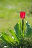 Tulpe des roten Frühlinges Lizenzfreies Stockfoto