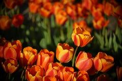 Tulpe, die über den Rest steigt Stockbilder