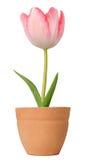 Tulpe, die in einem Blumenpotentiometer wächst Stockbild