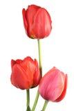 Tulpe drei Stockfoto