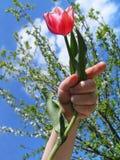 Tulpe in einer Hand Lizenzfreie Stockfotos