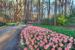 Exotische Tulpen Stockfoto