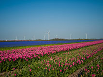 Tulpe-Feld Lizenzfreie Stockfotos