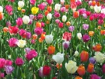 Tulpe-Feld Stockfotografie