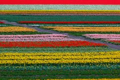 Tulpe-Feld in Holland Stockbild
