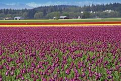 Tulpe-Felder Lizenzfreie Stockbilder