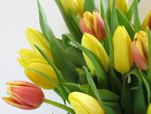 Tulpe-Frühlingsblume ein Symbol des Weckens und der Anfang des Lebens lizenzfreie stockfotos
