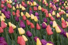 Tulpe-Garten Lizenzfreie Stockbilder