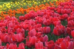 Tulpe-Garten Lizenzfreie Stockfotos